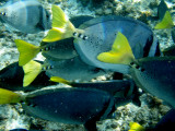 Yellowtailed Surgeonfish