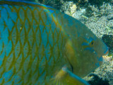 Blue Chin Parrotfish