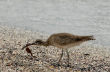 Whimbrel eating a crab, Punta Espinosa. Fernandina