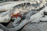 Marine Iguanas and Sally Lightfoot Crab,Fernandina