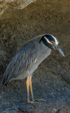 Yellow-crowned Night Heron, Punta Cormoran. Floreana