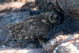 Short -eared Owl with prey ( Storm Petrel ) ,Prince Phillip Steps . Genovesa