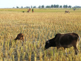 Cows grazing on rice