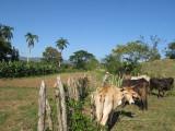 cows at the Hacienda de Guachinango