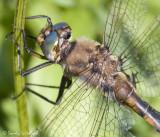 Beaverpond Baskettail (male)