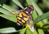 Transverse Flower Fly (male)