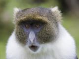 Sykes monkey  Cercopithecus mitis albogularis