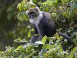 Syke's monkey(Cercopithecus mitis, NL:  witkeelmeerkat)