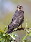 snail kite  slakkenwouw  Rostrhamus sociabilis