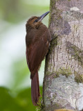 barred woodcreeper  gebandeerde muisspecht  Dendrocolaptes certhia