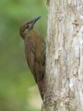 plain-brown woodcreeper  grijswang-muisspecht  Dendrocincla fuliginosa