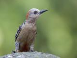 red-crowned woodpecker (f.)(Melanerpes rubricapillus)