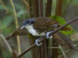 bicolored antbird  witoor-miervogel  Gymnopithys leucaspis