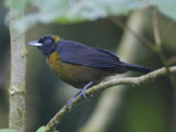 dusky-faced tanager  roetmasker-tangare  Mitrospingus cassinii