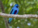 blue cotinga  zwartbuikcotinga  Cotinga nattererii
