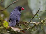 slate-coloured grosbeak  witkeelkardinaal  Saltator grossus