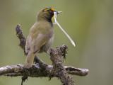 yellow-faced grassquit  grote Cuba-vink  Tiaris olivaceus