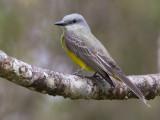 tropical kingbird  tropische koningstiran  Tyrannus melancholicus