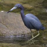 little blue heron  kleine blauwe reiger  Egretta caerulea