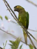 brown-throated parakeet  maïsparkiet  Aratinga pertinax