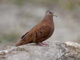 ruddy ground-dove   steenduif  Columbina talpacoti