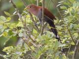 squirrel cuckoo  eekhoornkoekoek  Piaya cayana