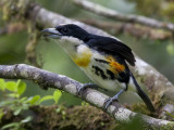 spot-crowned barbet (m.)  roodflank-baardvogel  Capito maculicoronatus