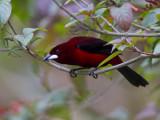 crimson-backed tanager  roodbuik-tangare  Ramphocelus dimidiatus
