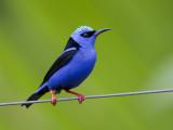 red-legged honeycreeper  blauwe suikervogel  Cyanerpes cyaneus