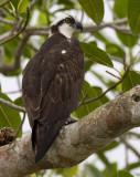 osprey  visarend  Pandion haliaetus