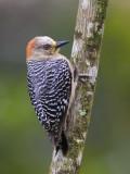 red-crowned woodpecker  roodkruinspecht  Melanerpes rubricapillus