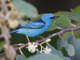 blue dacnis (male)  blauwe pitpit  Dacnis cayana