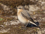 northern wheatear  tapuit  Oenanthe oenanthe