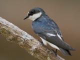 mangrove swallow  mangrovezwaluw  Tachycineta albilinea