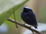 blue-crowned manakin  blauwkruinmanakin  Lepidothrix coronata