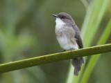 swamp flycatcher   Muscipapa aquatica