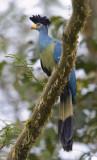 great blue turaco  Corythaeola cristata