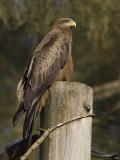 black kite  Milvus migrans