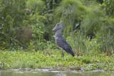 shoebill (compared to squacco heron)