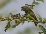brown parrot  Poicephalus meyeri