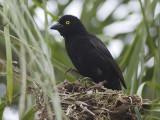 Vieillots black weaver  Ploceus nigerrimus