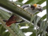 grey parrot  Psittacus erithacus