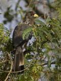 eastern grey plantain-eater  Crinifer zonurus