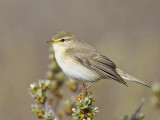 willow warbler  fitis  Phylloscopus trochilus
