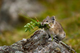 Photos Of Pika, Weasel, Hoary Marmot And Other Wee Furry Folk