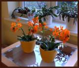 The two orange flower pots