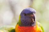 Close up baby rainbow lorikeet