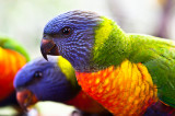 Rainbow lorikeet babies close