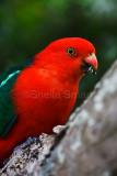 King parrot in frangipani tree in garden