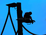 Spider monkey in silhouette